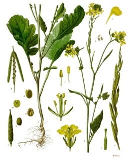 Mustard Tree1
